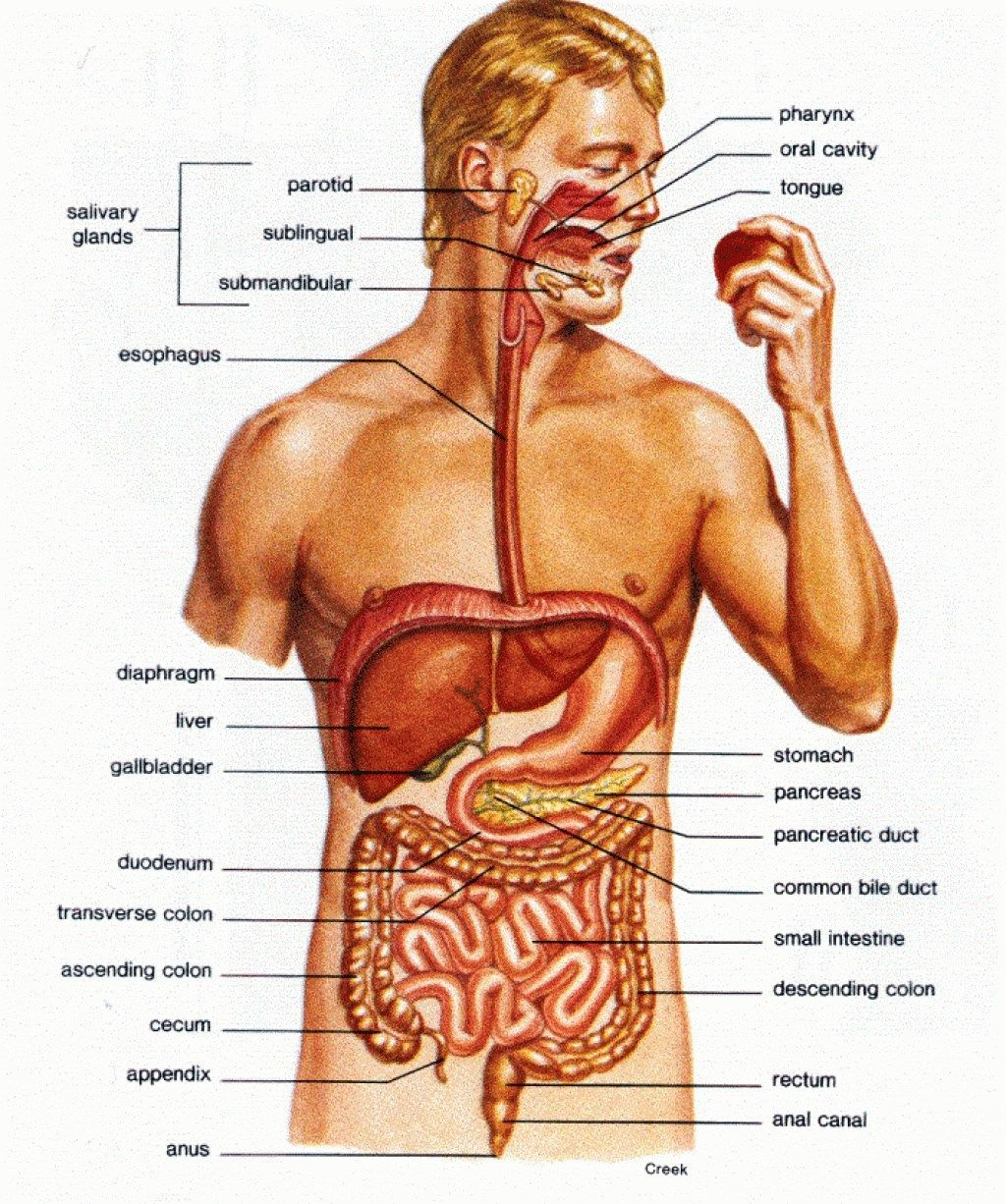 Diagram Of Human Internal Body System Tropnss