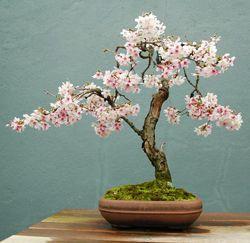 Brush Cherry Bonzai Cherry Blossom Bonsai Tree Japanese Bonsai Tree Cherry Bonsai