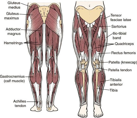 anatomy of legs – strong adductor magnus.an anatomical argument, Cephalic Vein