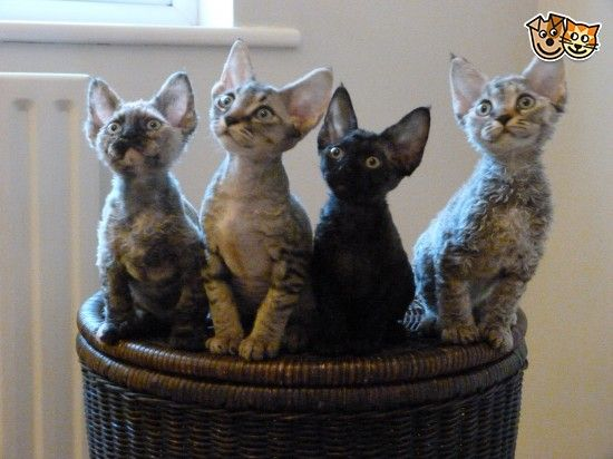 Fabulous Gccf Reg Devon Rex Kittens Devon Rex Kittens Devon Rex Devon Rex Cats