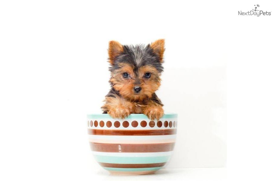 Teacup Jessica Yorkshire Terrier Yorkie Puppy For Sale Near