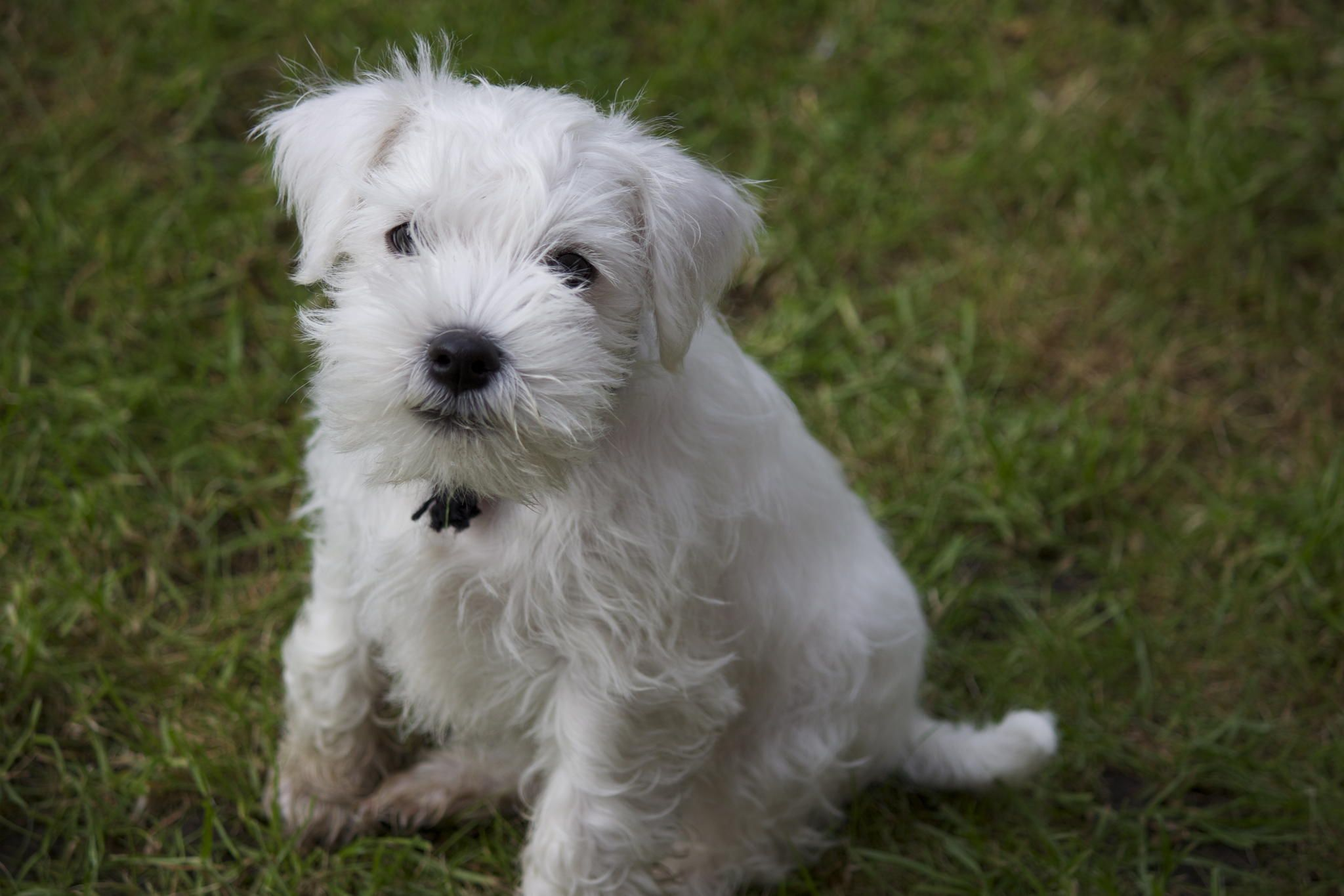 Miniature Schnauzer Puppy | Miniature schnauzer puppies ...