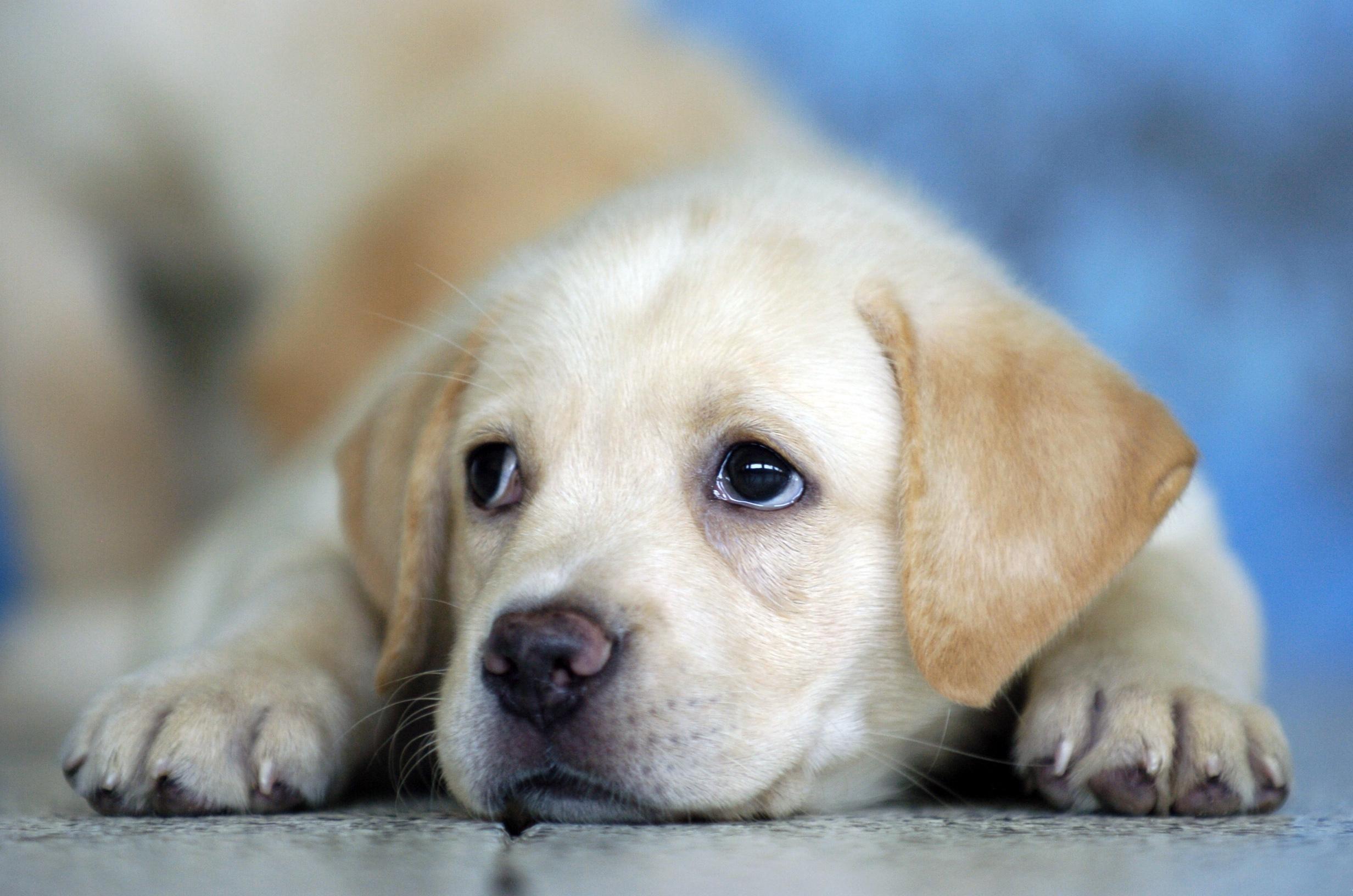 Cute Labrador Puppy Hd Desktop Wallpaper Widescreen High