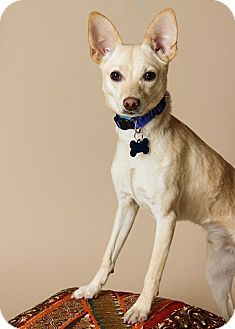 Pet Not Found Dog Adoption Kitten Adoption Chihuahua Mix
