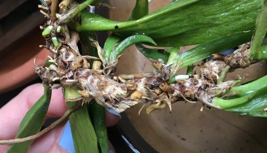 Full Water Culture for Orchids: An Experiment #growingorchids