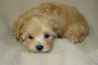 This teacup Maltese looks exactly like Dolly when she was a puppy only dolly had more white in her :) still had some peach/brown but more white than this :) I miss her SO much :(