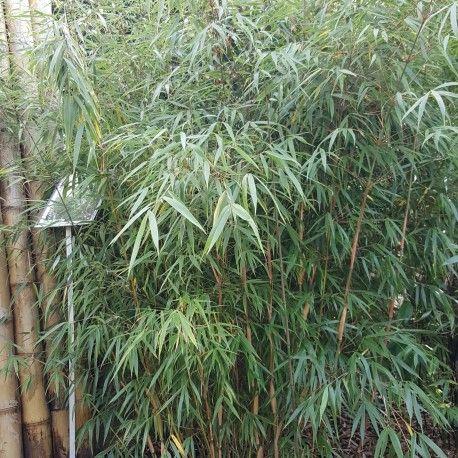 Bambou - Fargesia scabrida Asian Wonder 2014