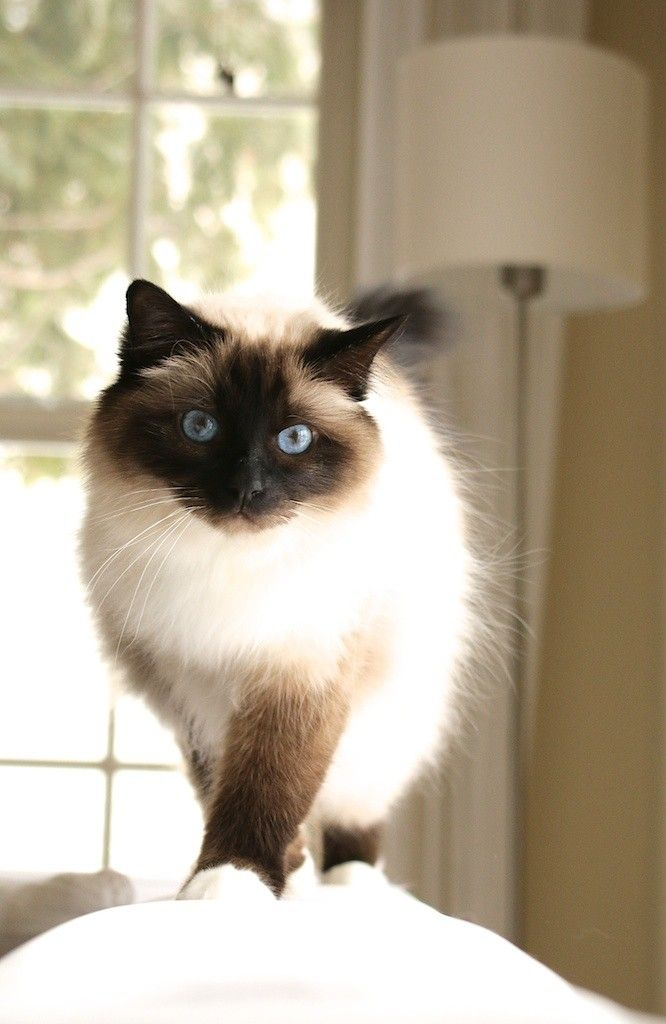 Go For A Walk Siamese Cats Siamese Cats Facts Cats
