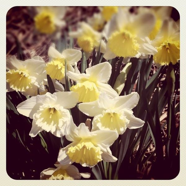 Konan Japanese Ukiyo E Woodblock Print Daffodil Flower Art Botanical Prints Japanese Art Styles