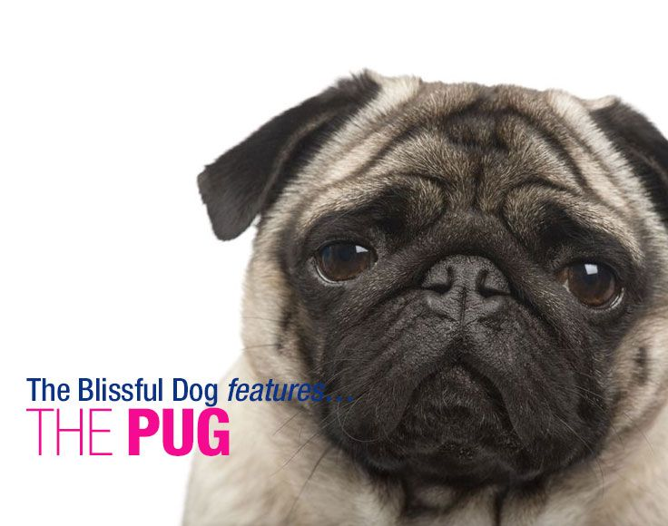 Do Lazy Pugs Shed Or Not Do Pugs Shed Pugs Dog Breeds