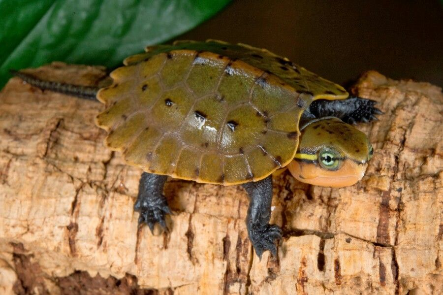 Chinese big headed turtle