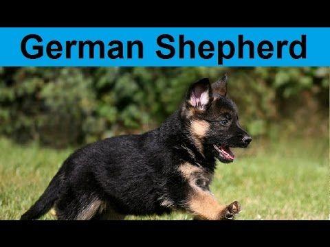 Adorable German Shepherd Puppies Compilation Youtube Cute
