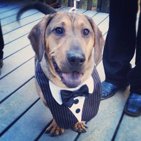 Wedding Dogs: Tuxedo outfit looks good on dog.