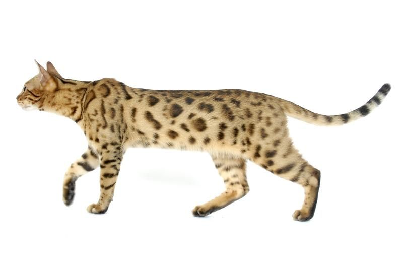 Achieving the True Bengal Males of this first generation