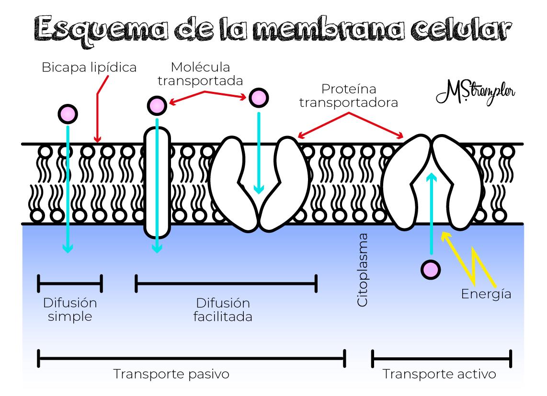 Esquema De La Membrana Celular M Strempler Transporte Pasivo Esquemas Educacion