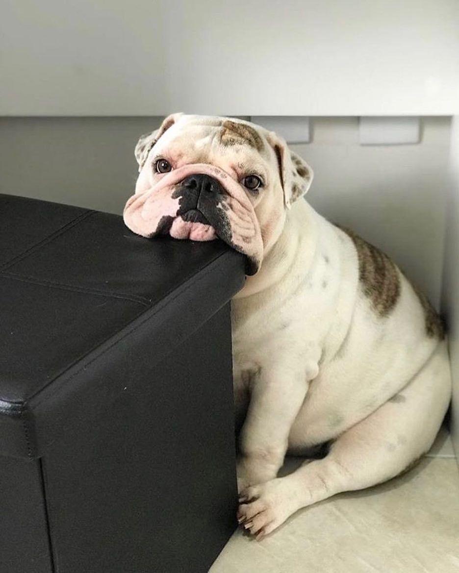 Bulldogs R Us On Instagram Waiting For Your Parents Like Tag Us To Get Featured Or Just Send Us A Dm Don T Forget Bulldog Cute Bulldogs Bulldog Funny