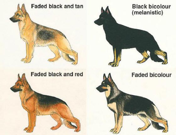 German Shepherd Color Variance Mine Was Faded Black Tan Animais