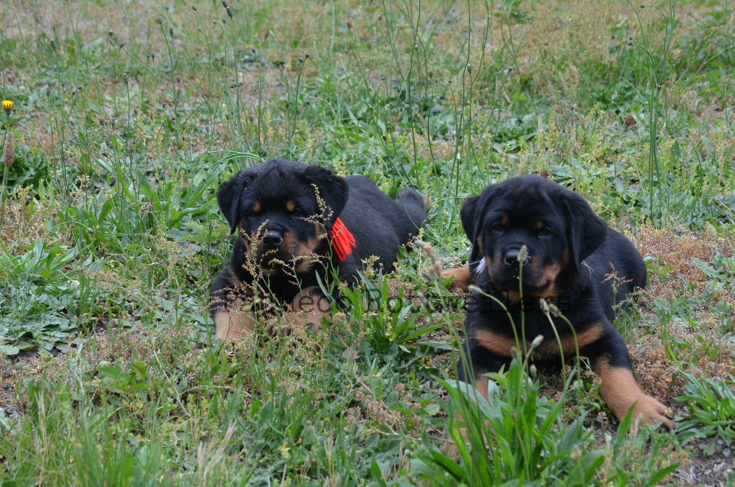Play Time 8 Weeks Old Friday The 13th 2016 Pachecorottweilers