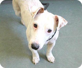 Harrisburg Pa Jack Russell Terrier Mix Meet Mckenzie A Dog