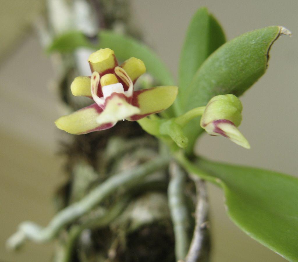 Sarcochilus hirticalcar orchids pinterest orchid plants and