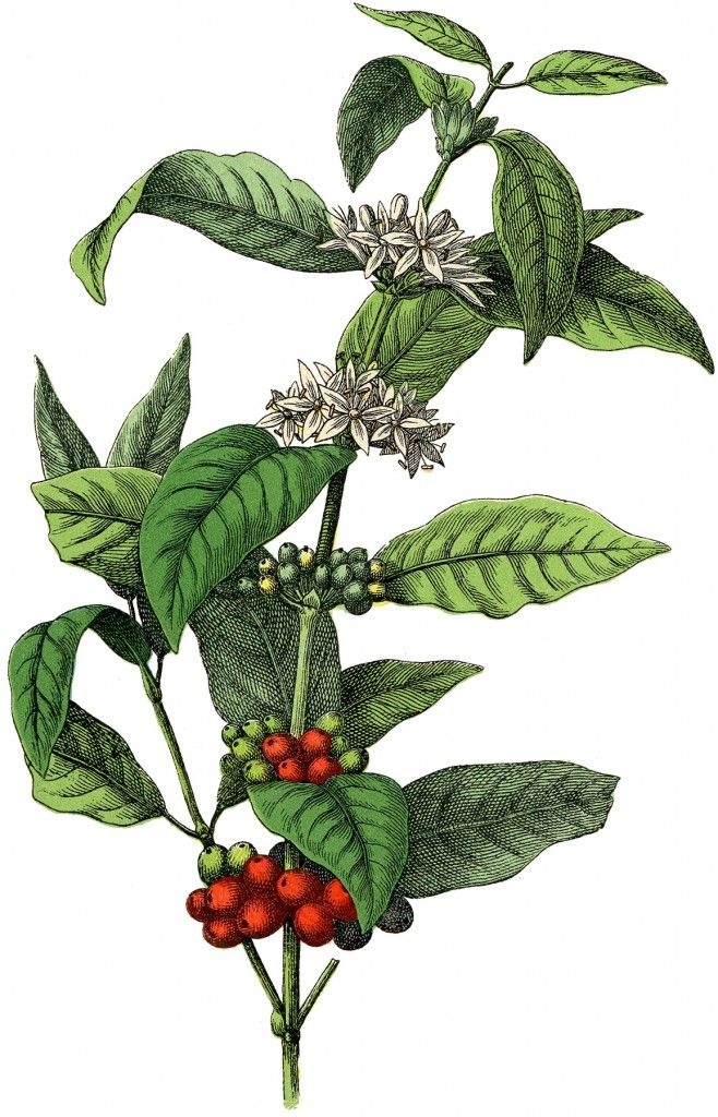 Free Stock Image Coffee Plant Coffee Flower Coffee Plant Coffee Illustration
