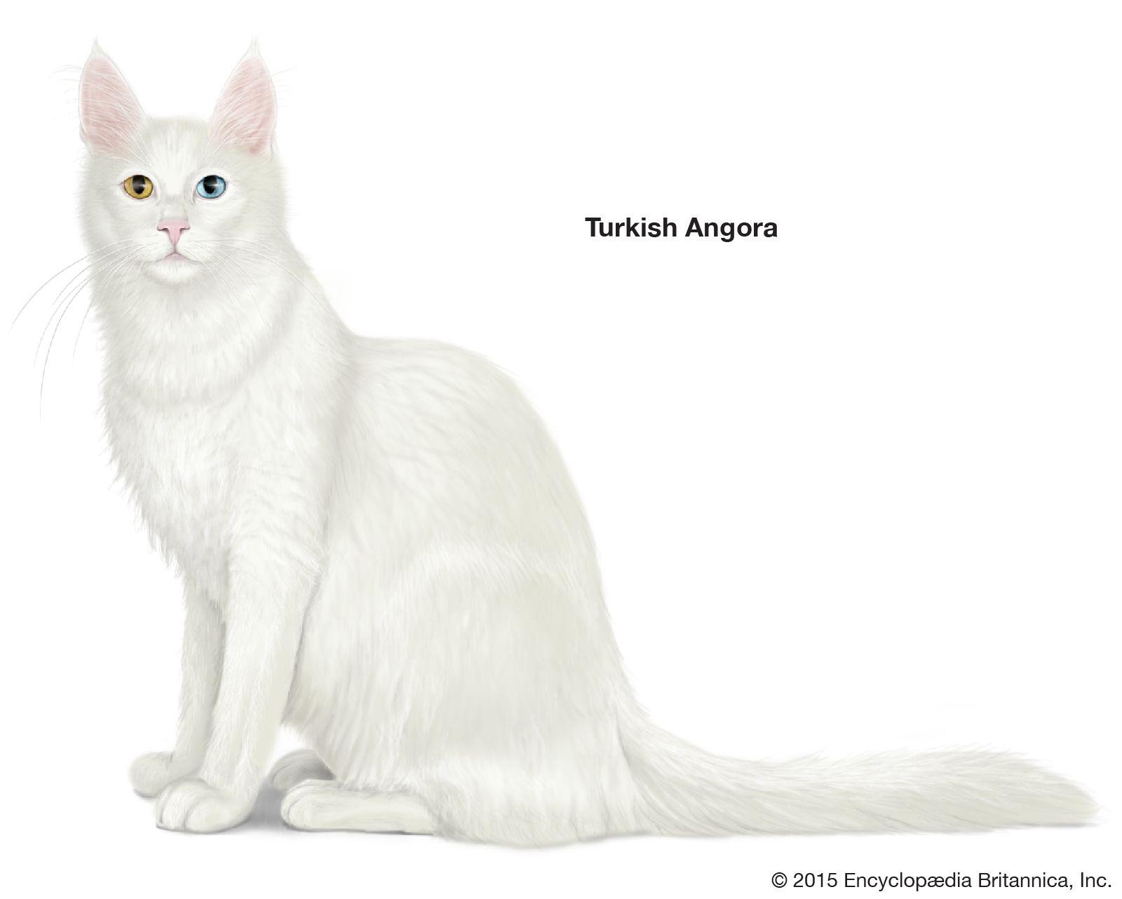 cat   E AZVM - Carnivora - Feliformia - Felidae - 'Lesser