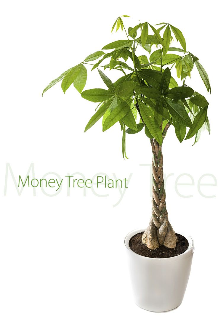 Chinese Money Tree Plant on chinese perfume plant, coin plant, chinese dollar plant, chinese lucky plants, chinese people plant, chinese fringe plant, chinese coin tree, chinese plants and trees, chinese palm plant, chinese bamboo plant, chinese bamboo tree, chinese new year good luck plant, chinese house plants, chinese jasmine plant, chinese dragon plant, calathea ornata plant, chinese good luck money plant, chinese fern plant, chinese good luck tree, lucky money plant,