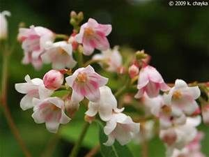 White With Pink Bell Shaped Flowers Bing Images Apocynum Androsaemifolium Spreading Dogbane