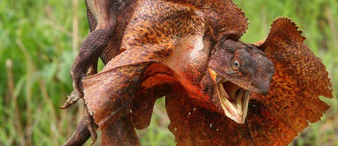 Top 10 Weirdest Lizards Lizard Reptiles Kakadu National Park