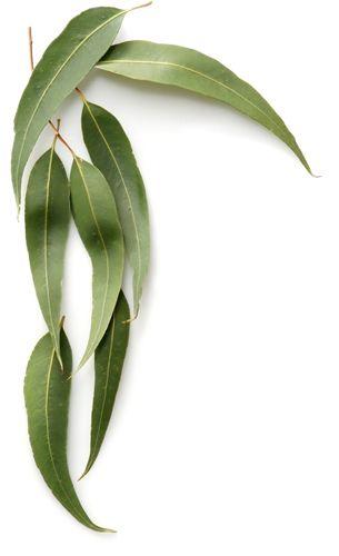 Eucalyptus Tree Seeds Eucalyptus Leucoxylon Eucalyptus Tree