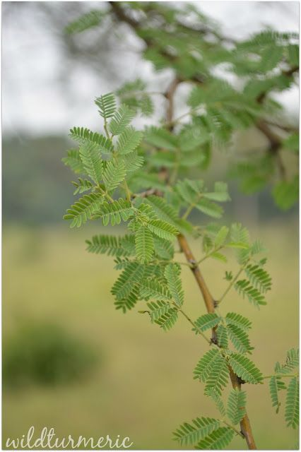 5 Top Medicinal Uses Of Babool Babul Tree Acacia Arabica Kikar Karuvela Maram Wildturmeric Ayurvedic Plants Herbal Plants Babul