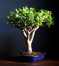 Photo Du Bonsai Crassula Crassula Ovata Crassula Ovata Jade