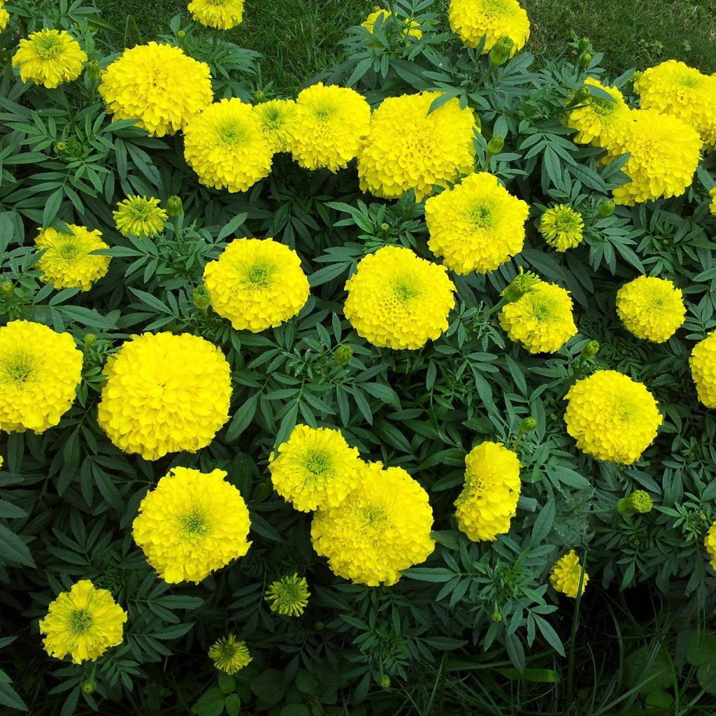 Marigold Seed Crackerjack Planting Marigolds Marigold Dandelion Flower