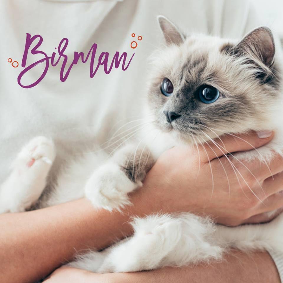 Idea by Rachel Summers on Cats Birman kittens for sale