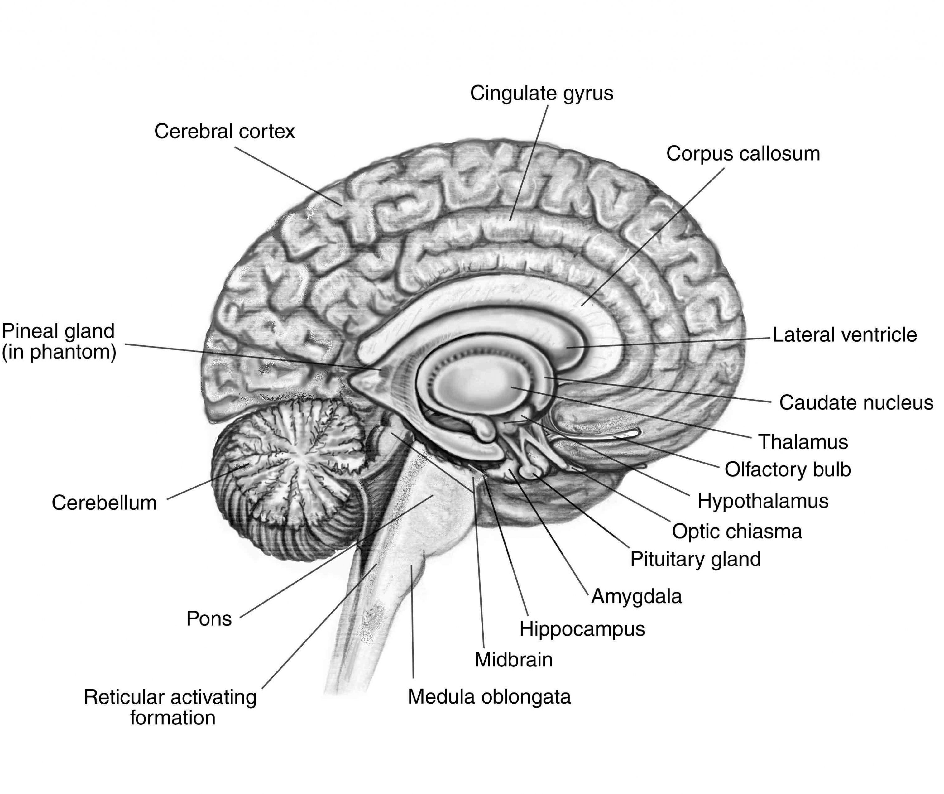 Labeled Parts Of The Brain Koibana Info Brain Diagram Brain Parts And Functions Brain Drawing