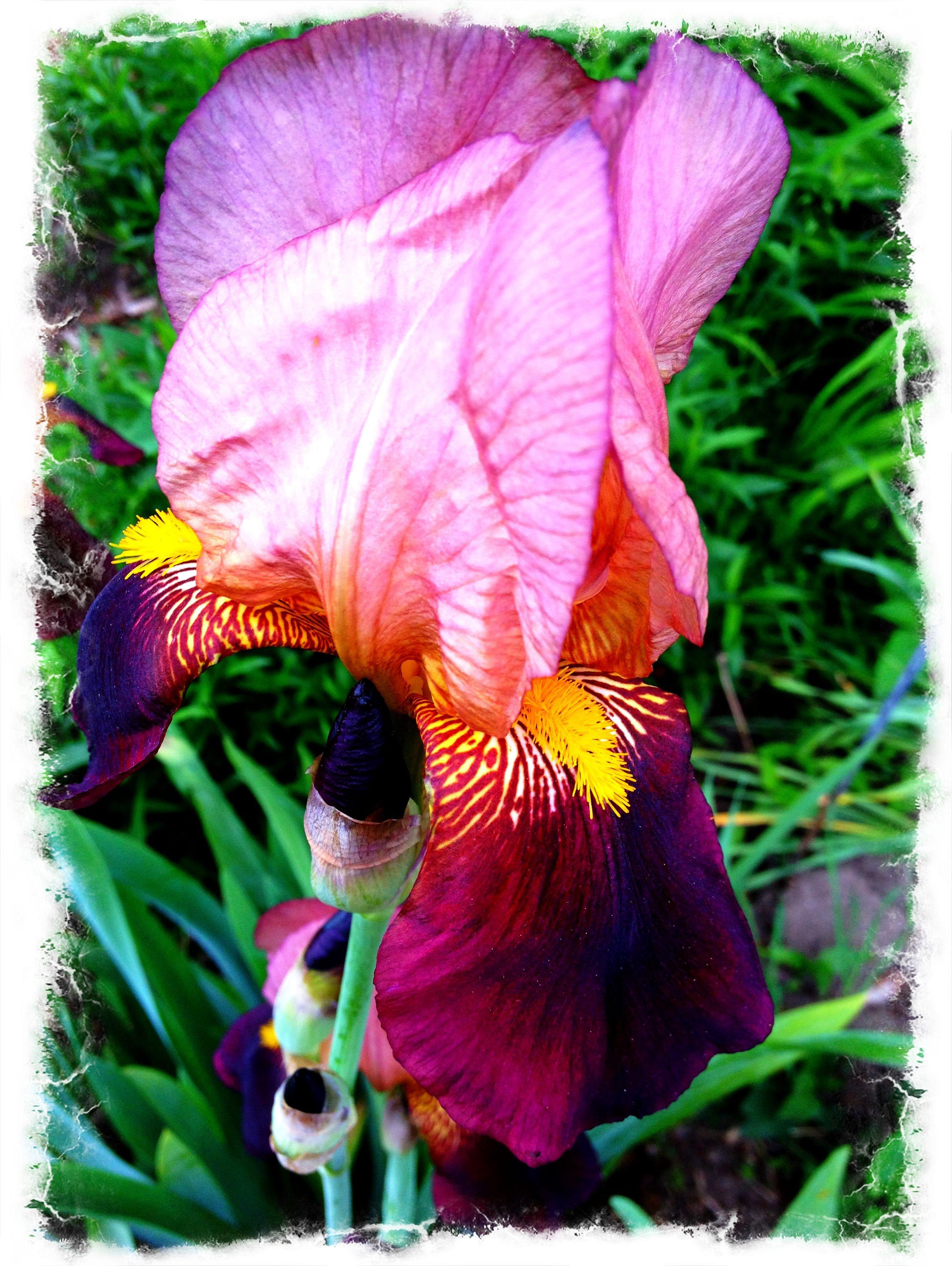 The Iris Are Blooming Now This One Is Sentimental Dad And I Bought