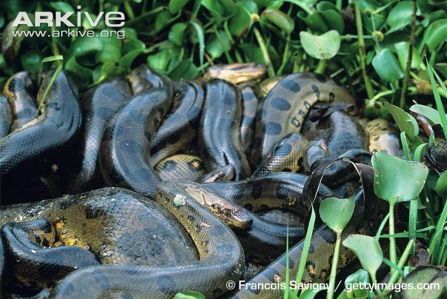 Green anacondas in massive breeding ball