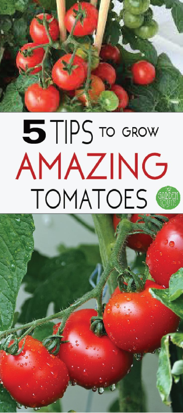 How To Grow Juicy Tomatoes With Images Tomato Garden Growing