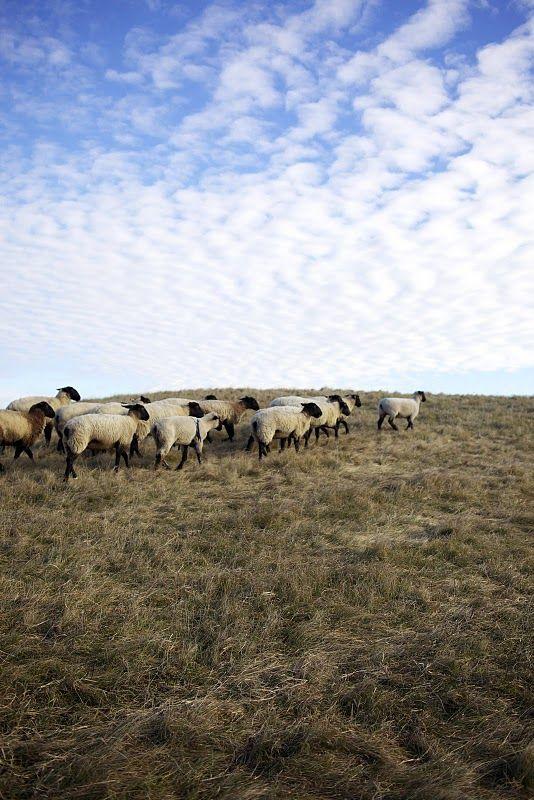 clouds + sheep