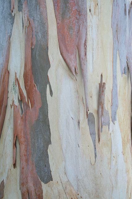 Eucalyptus Tree Bark Eucalyptus Tree Tree Textures Tree Bark