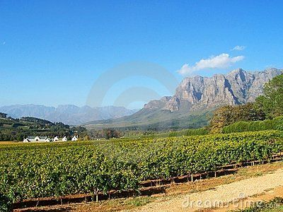 Cape  estate with  merlot cabernet vineyards  at Stellenbosch  at the foot of the Franschhoek mountains, capewinelands farm near franschhoek  with vineyard and mountains Southafrica