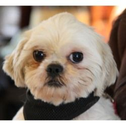 Moppet Is An Adoptable Shih Tzu Dog In Kalamazoo Mi Moppet Is A Little Cutie That Will Steal Your Heart He Did Not Have A Very Shih Tzu Shih Tzu Dog