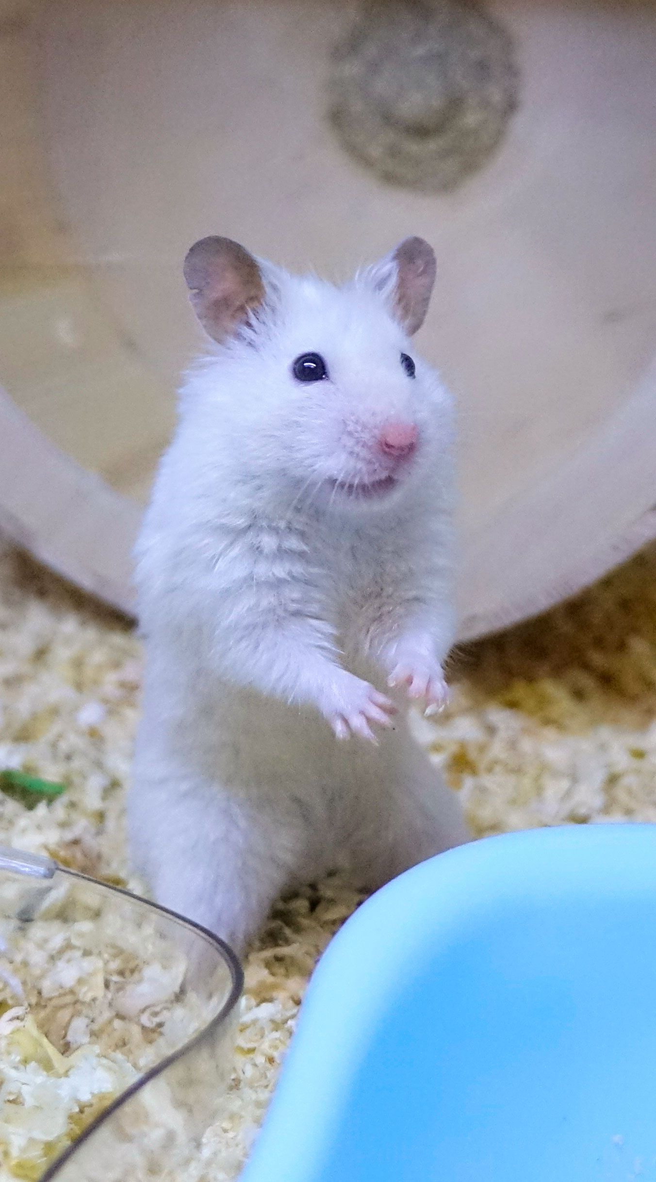 White Syrian Hamster in Cage. The Cutest Hamster in the