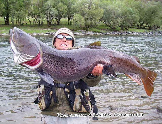 Mongolian taimen flyfishing pinterest fish big and for Taimen fishing mongolia