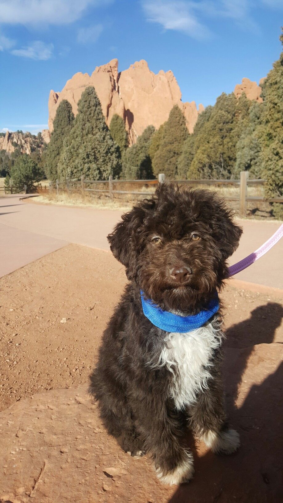Lagotto Romagnolo At The Garden Of The Gods