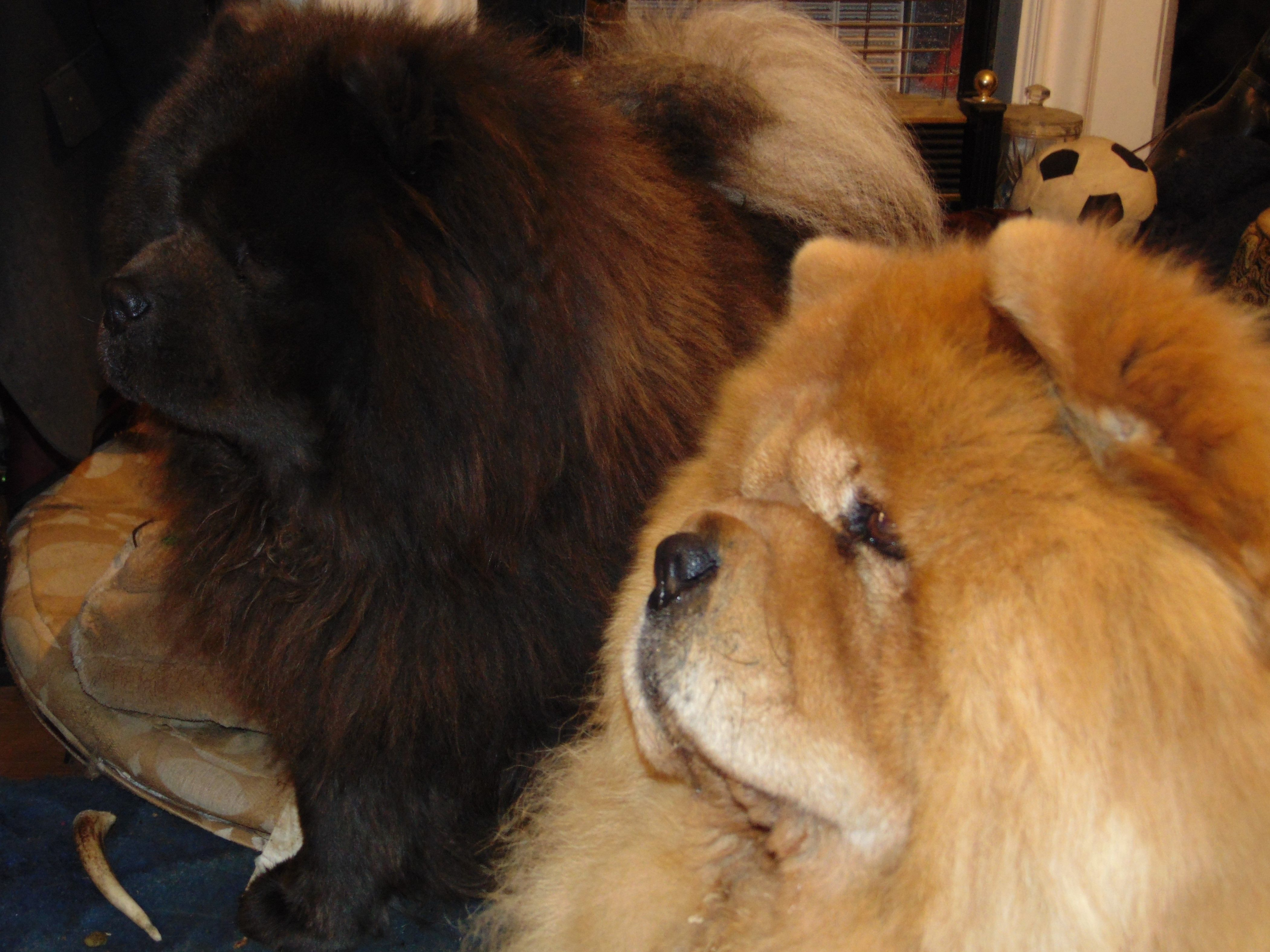 Mishka Cinnamon Chow Chow And Vasili Blue Chow Chow Watching