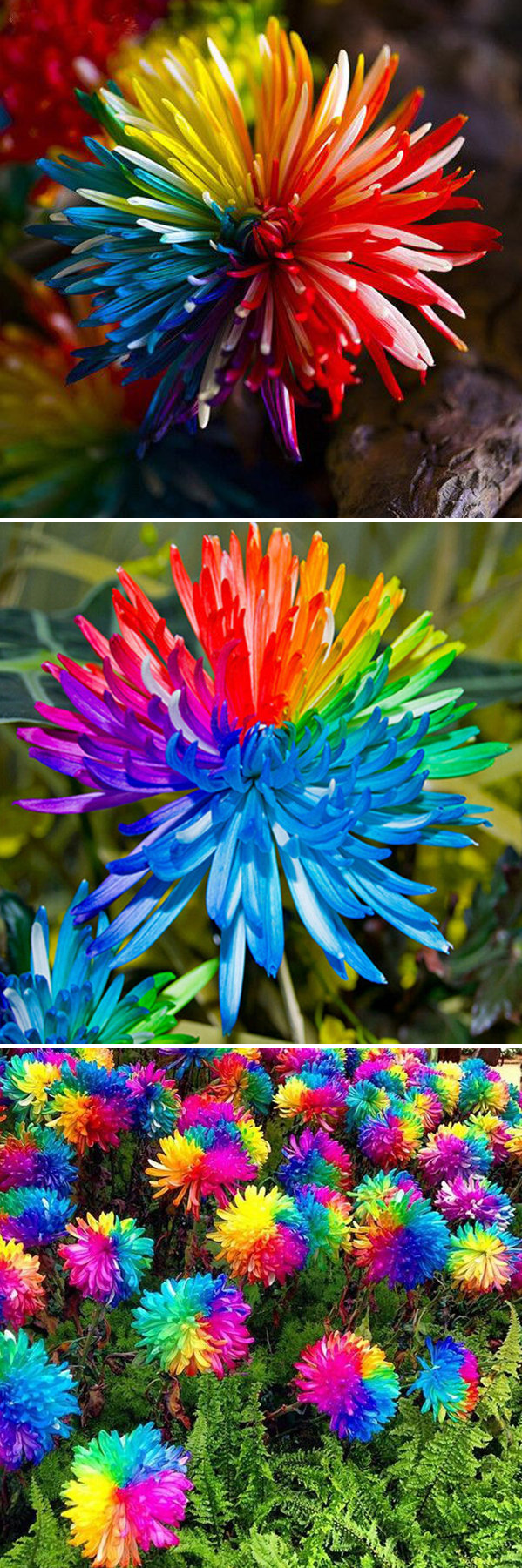 Pcs rainbow chrysanthemum flower seeds rare color home garden