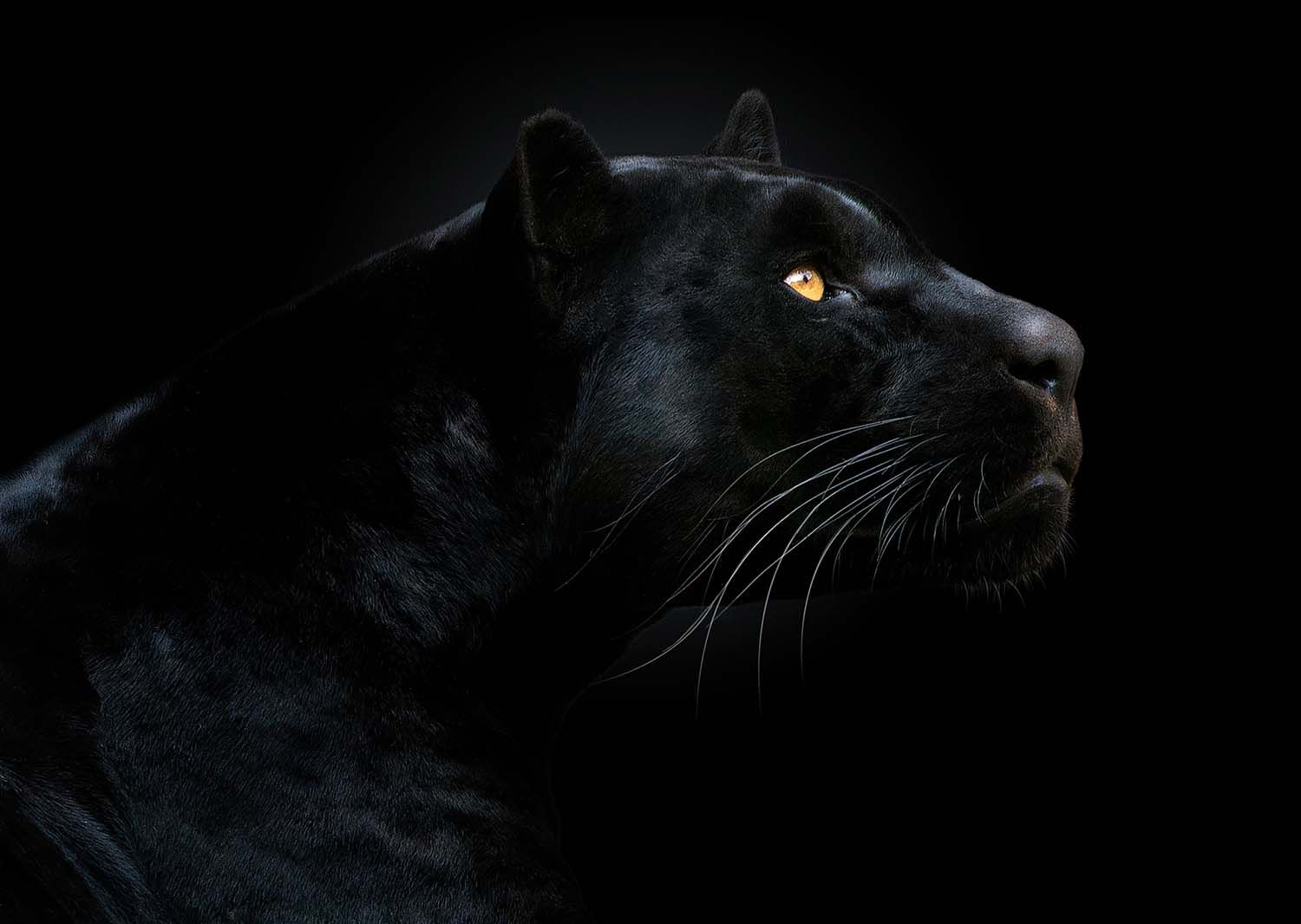 Black Panther Animal 4k Wallpapers For Mobile: 7 Revealing Animal Portraits, From Bats To Bongos