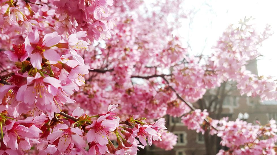 The Best Places To See Cherry Blossoms Around The World Cherry Blossom Cherry Blossom Tree Blossom Trees