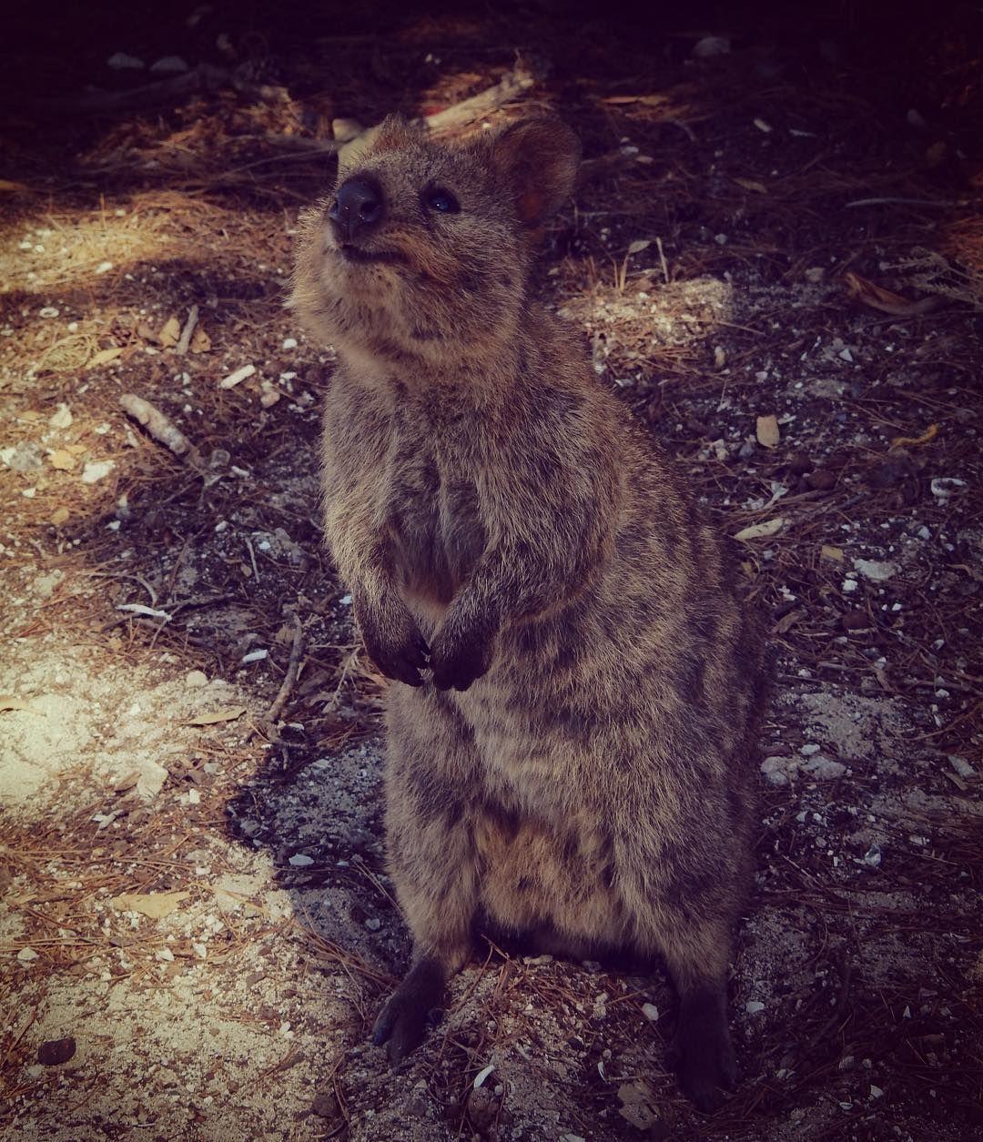 Quokka  #quokka #smile #backinaustralia #rottnestisland #perth #westernaustralia by nicolette_van_houwelingen http://ift.tt/1L5GqLp